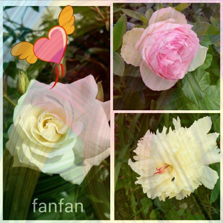 ..kado de mon amie  111 Fanfan.......Merci