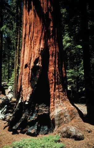 Au séquoia