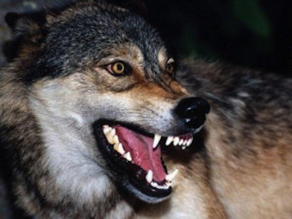 Le ménétrier et les loups