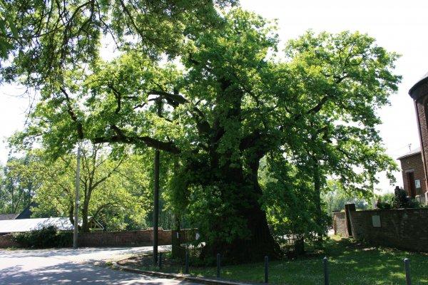 Le Gros-Chêne de Liernu
