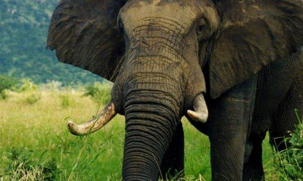 Tembo Vriend, l'homme qui parlait aux éléphants.