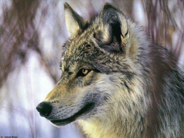 Le vieux montagnard et le loup
