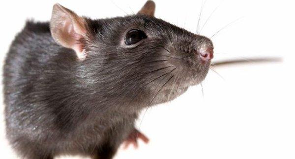 Les rats du cimetière.