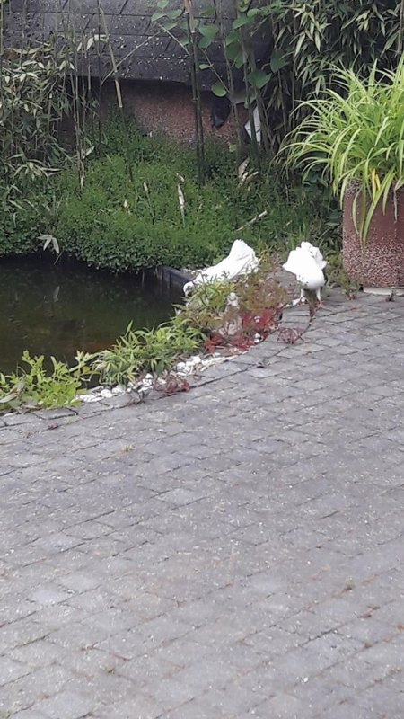 L'étrange dialogue des colombes.