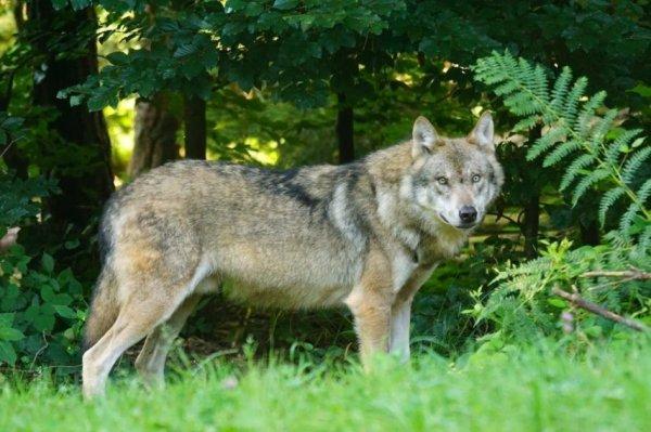 Un loup qui ne s'en laisse pas conter