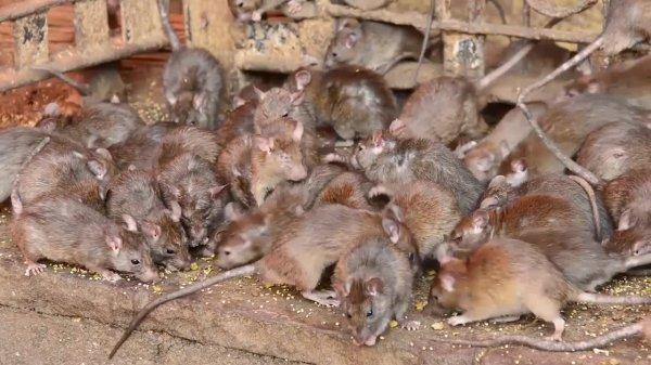 Julien à Rats du Roctiau
