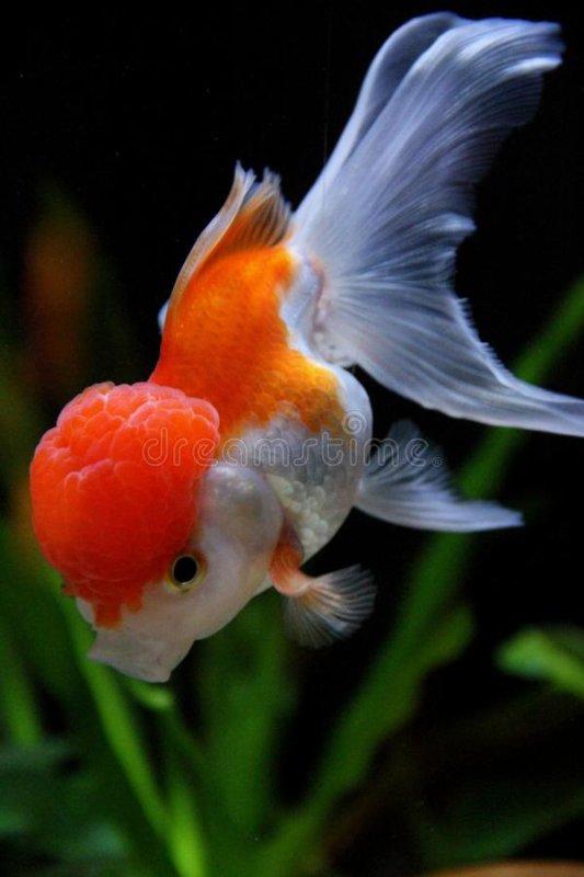 Le poisson rouge et le confiné.