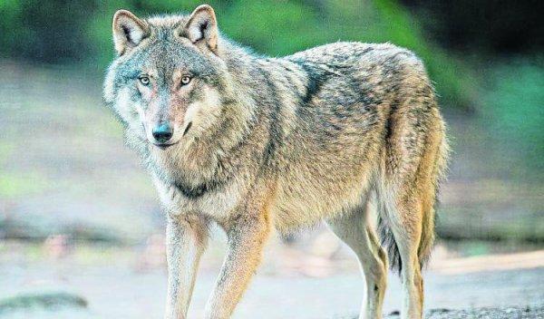 Des loups à Montigny