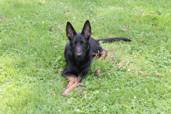 Notre cher Wolf qui nous donne tant et tant de satisfactions et ce,depuis l'âge de 6 semaines . (Le malinois noir ou gris sont les chiens primitifs de la race. En 1909,le roux à poils courts est inscrit au standard du berger malinois.)
