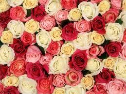 Ship : Tomber dans les roses