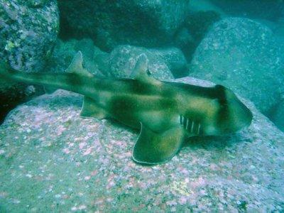 Requin Dormeur Taureau Requin A 100
