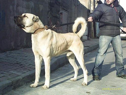 un chien d origine turkey