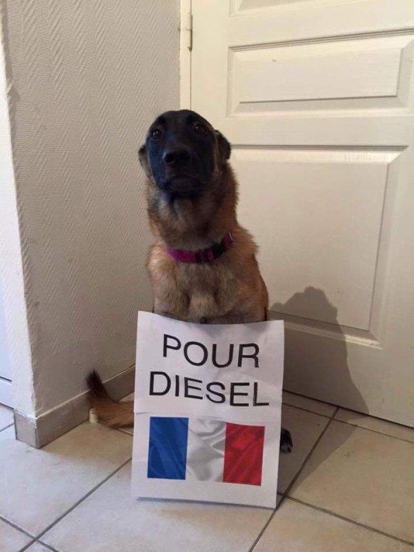 pour diesel malinois de 7ans