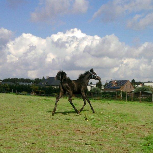 Dieu prit une poignée de sable du désert, souffla dessus et créa le cheval arabe...
