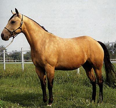 Les races de chevaux western - L'équitation western