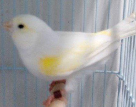femelle lipo jaune mosaique