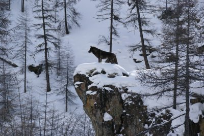 ► L'impregnation. Il s'agit du phénomène décrivant le lien unique qui unit un loup-garou à un humain.