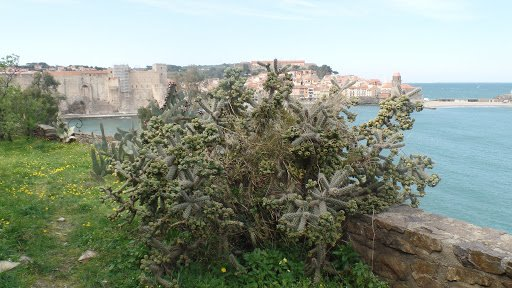 cactus de Collioure (Pyrénées Orientales ) 66