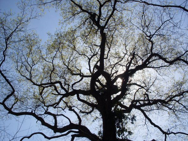 Mon chêne n'est plus .....