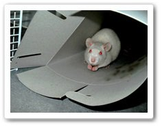 Les ratous d'Allison.