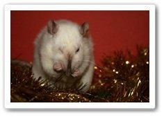Les ratous d'Annabelle