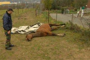 Un cheval mutilé à mort à Ivoz-Ramet