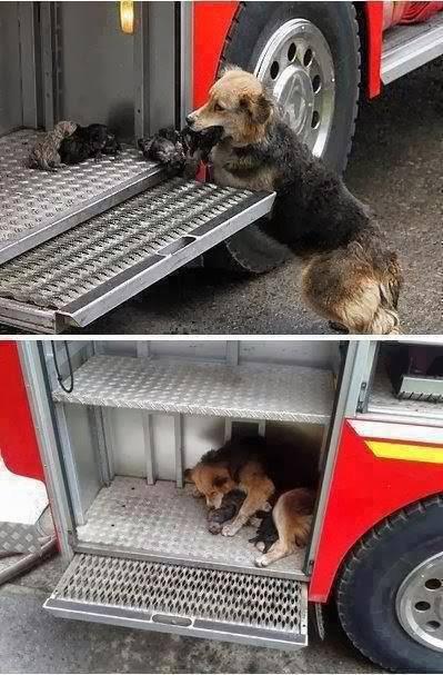 voici une image concrete de l'amour d'une mére a ses enfants comme cette chienne qui a sauvé ses petits chiens  d'un incendie et les a mis dans un camion de protection civil afin de les protegér