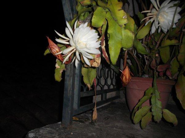 fleurs de mon épiphyllum une vraie merveille de la nature