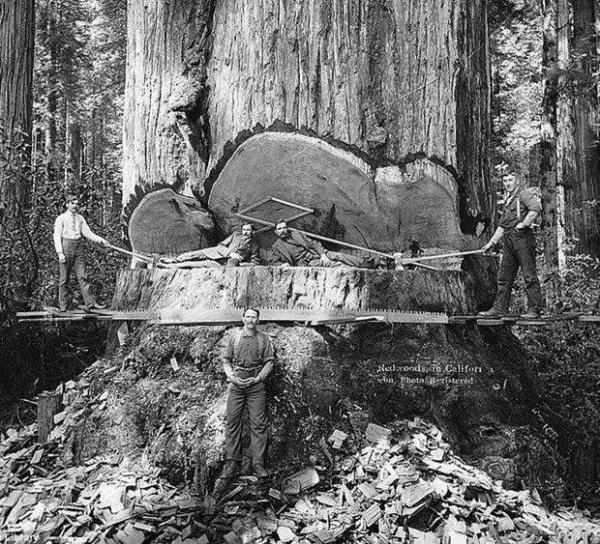 IMAGES SPECTACULAIRE : Abattage d un séquoia en Californie vers 1900