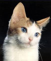 Race de Chats : l'Ojos Azules