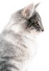 Race de Chats : le Norvégien