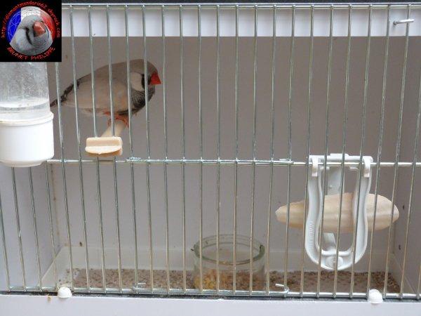 Oiseaux pour les concours.