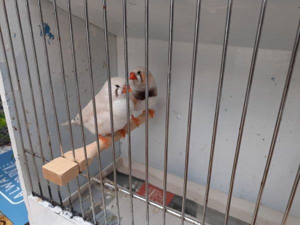 Oiseaux à céder.