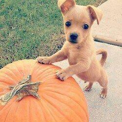 Combien de j'aimes pour ce petit chien d'halloween?♥