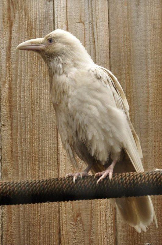 Corbeau albinos