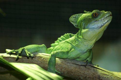 l'Iguane !