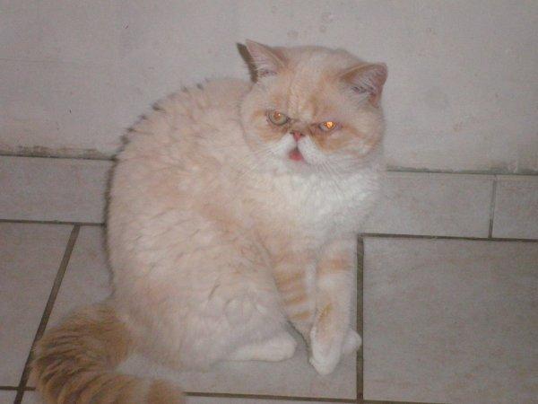 """une nouvelle à la maison """"kitty"""" croisée exotic shorthair/mainecoon"""