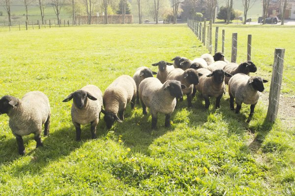 agneaux et agnelles a venre
