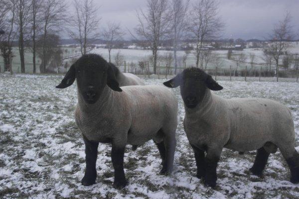 mes 3 agneaux reproducteur