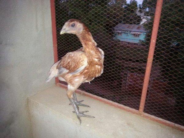 Une de mes poules fondations