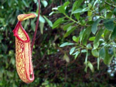 plante carnivore cobra