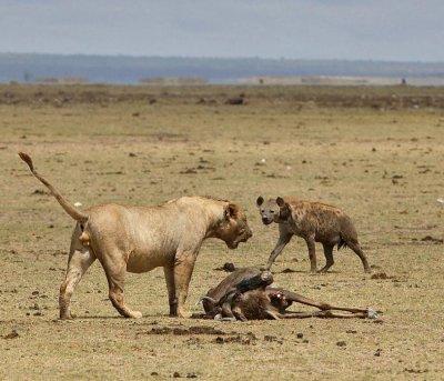 Adversité entre la Hyène et le Lion