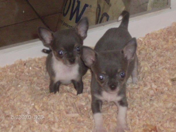 bleu chihuahua