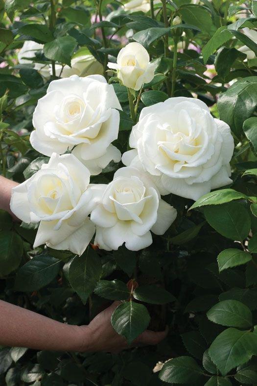 Bonne fête des mères à toutes les mamans de France.Ce bouquet de rose n'est rien que pour vous.