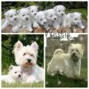 West Highland White Terrier ou Westie