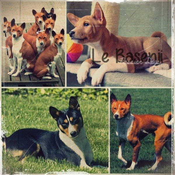 Le Basenji