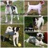 Le Parson Jack Russel Terrier et le Jack Russel Terrier