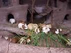 bienvenue sur le blog de mes cochon d'inde