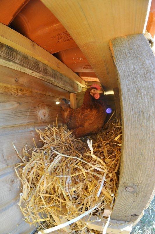 je vous présente josiane et claudie, mes deux petites poules