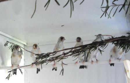 jeunes chardonneret agate en fin de mue 2012